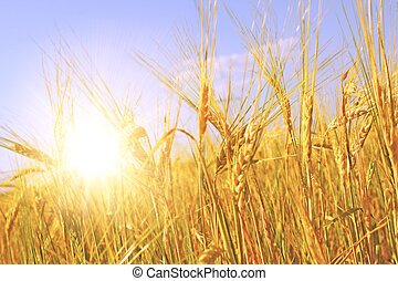 Crop of rye - golden cereal and sun