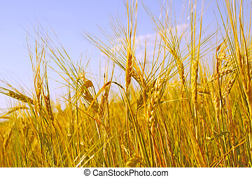 Crop of rye - golden cereal and blue sky