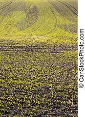 Crop showing plough line patterns - Recently sowed food crop...