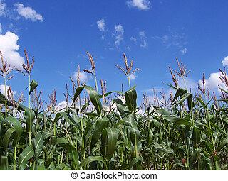 Crop - A crop on farmland