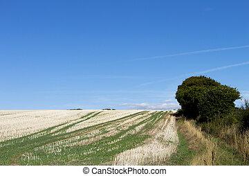 Crop Stubble - Crop stubble after harvest left on farmland...
