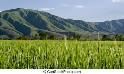 Crop Year - Spikes on wheat field sways in the gentle breeze...