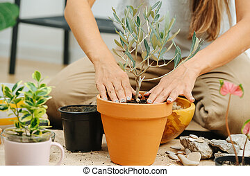 Cropped image of a woman in living room, replanting house plant from pot to pot.