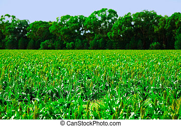 Crops - Field of crops under a blue sky