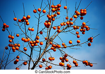 crops in south korea,persimmon