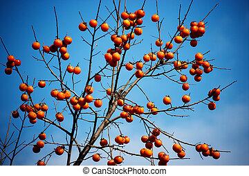 crops in south korea,persimmon