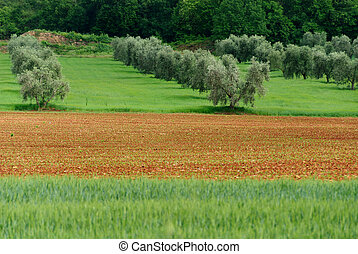 crops in Tuscany