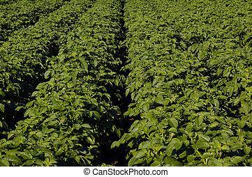 crops - potatoe field, scotland 2005