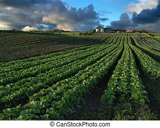Rows of cabbage and other crops leading up a small hill to a farm surrounded with stormclouds. Rogaland, Norway.