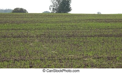 crops rye waiting for winter time. Agricultural farm fields...