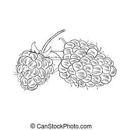 croquis, eco, isolé, illustration, main, arrière-plan., style, vecteur, nourriture, dessiné, blanc, framboise