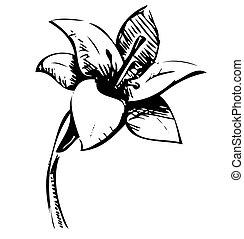 croquis, fleur, lis, illustration