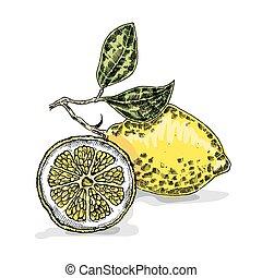 croquis, illustration., lemon., style, main, vecteur, dessiné