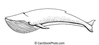 croquis, isolé, arrière-plan., vecteur, illustrat, baleine, blanc