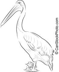 croquis, pelican.