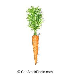 croquis, sur, isolé, carotte, fond, blanc, dessin