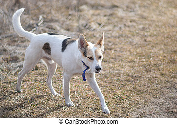 Cross-breed of hunting and northern white dog running in autumnal field