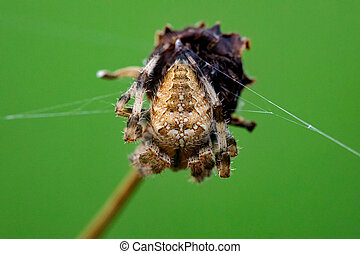 Cross Orb Weaver Spider Perched on a Dead Wildflower Stalk