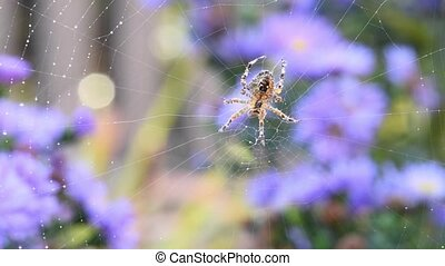 Cross orbweaver on its web