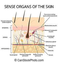 Cross section human skin. - cross section human skin....