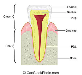 Cross section of a typical tooth - Drawing to show the main...