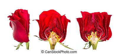 Cross section of Beautiful red rose isolated on white background