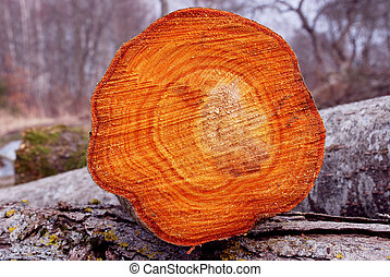 Cross section of cut tree.