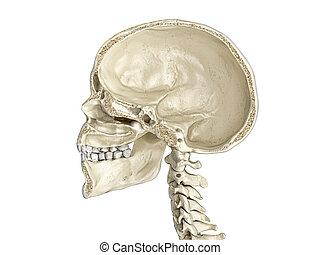 cross-section., sagittal, crâne humain, mi