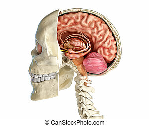 cross-section., sagittal, cranio umano, mezzo