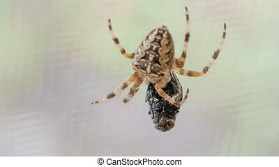 Cross Spider (Araneus Diadematus) And Fly,Time Lapse