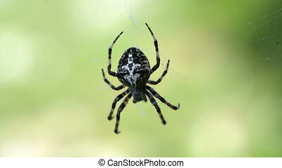 Cross Spider Araneus diadematus female in the center of the...