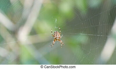 Cross Spider Araneus diadematus hunting day and weave on web in the forest close up