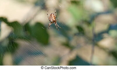 Cross Spider Araneus diadematus hunting day and weave on web...