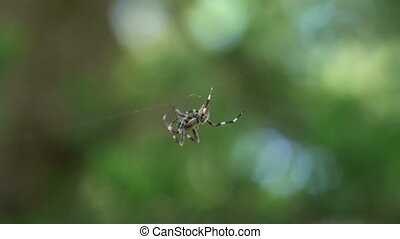 Cross Spider Araneus diadematus male weave a web, macro