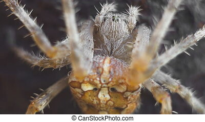 cross spider close up