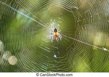Cross Spider in the net