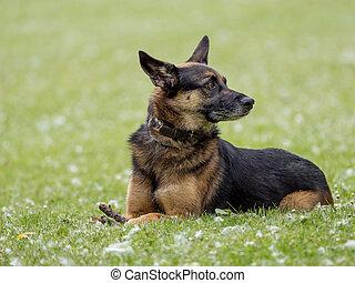 Crossbreed German shepherd sitting in a natural park
