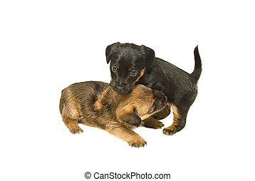 Crossbreed Puppies playing
