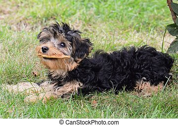 crosse, yorkiepoo, mastication