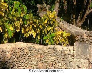 Croton (Codiaeum variegatum) with colorful leaves in...