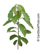 Croton oblongifolius Roxb. Herbal treatment for flatulence, ...