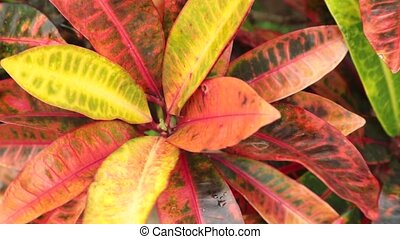 Croton Plant Leaves High Definition Footage - Croton plant...