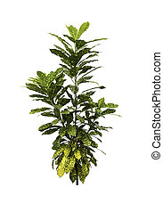 Croton plant with green leaf