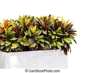 croton, växt, isolerat, vita, bakgrund, med, snabb bana