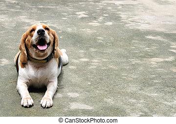 Crouching beagle on the street.