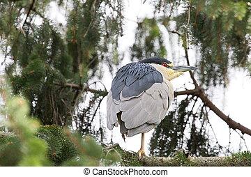 crouching heron - Heron balancing on a tree branch.