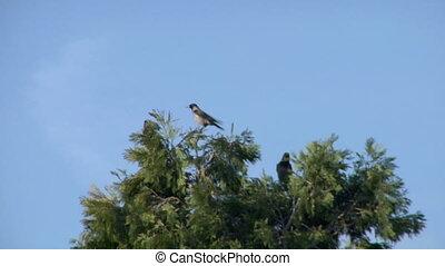 crow 11 - Black crows flying