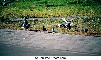 Crow alights near pigeons foraging on lawn near sidewalk. -...