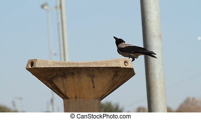 Crow and fountain - Crow drinks water from fountain