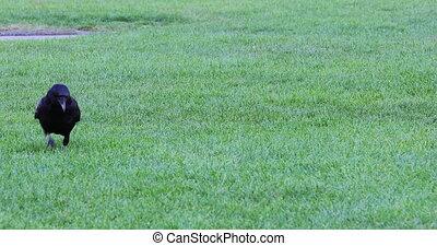 Crow Bird Walking On The Green Grass